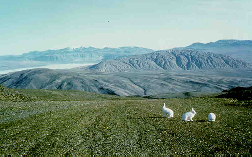 High Arctic, summer: Arctic hares on Axel Heiberg Island, in front of a Salt Dome (500 meter high mountain, 5 by 7 km).